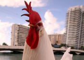 Bike-riding celebrity rooster faces eviction