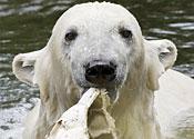 Knut the polar bear gets female companion