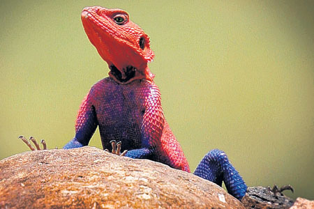 This Mwanza Flat Headed Agama was snapped in Kenya