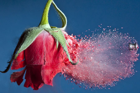 Explosive: Artist Alan Sailor's home-made flash captures the moment a rose is blasted