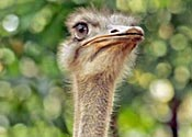 An ostrich, not going on the run