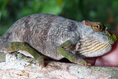 The catchily named kinyongia magomberae