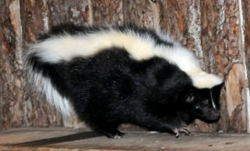 Mr Bumble the skunk reveals his new slimline figure
