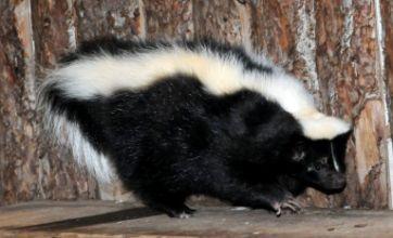 Mr Bumble the skunk reveals his new slimline figure