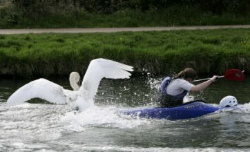 BBC's The One Show 'forced' Asbo swan to 'attack' for cameras