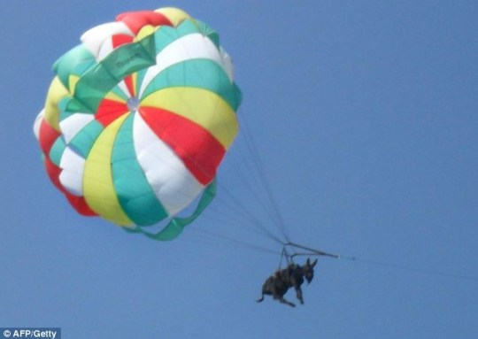 Ordeal: The donkey dangles under a parasail as a speedboat pulls it across the sea in Russia