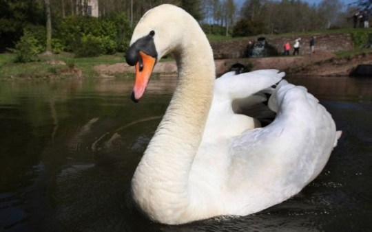 The swan allegedly killed his first wife, his second flew off with their babies and his third died a mysterious death. Is this swan just unlucky in love or a murderer? (Picture: Richard Austin)