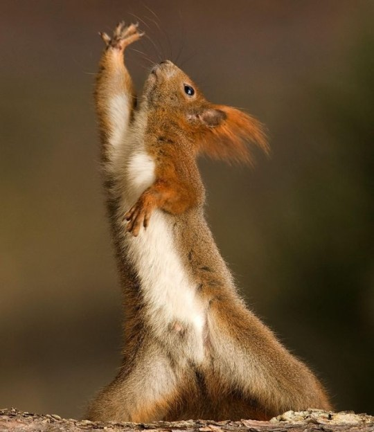 This red squirrel could be reaching for his nuts, but we think he's showing off (Photo: Caters)