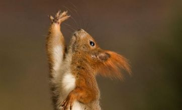 Red squirrel does Saturday Nut Fever