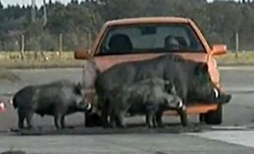 Germany builds fake wild boar to see effect on cars when in accidents