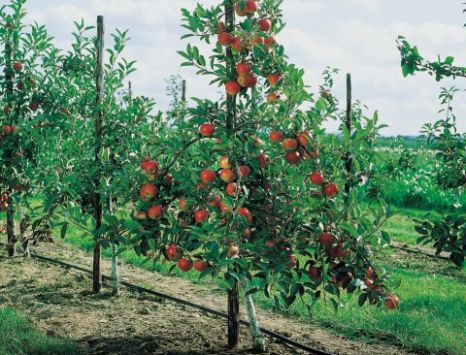 Apple trees given chop deemed 'too dangerous' | Metro News