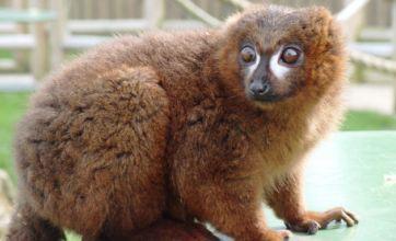 Rare lemur on the run from zoo