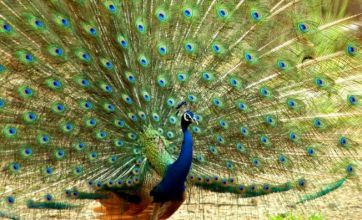 Stroppiest peacock in the village faces eviction