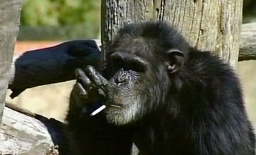 Smoking chimp Charlie dies