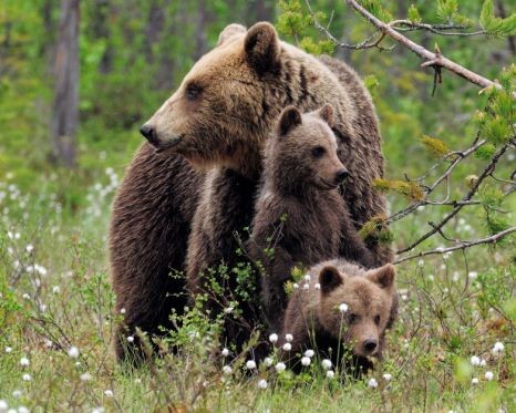 A female European brown bear with two cubs