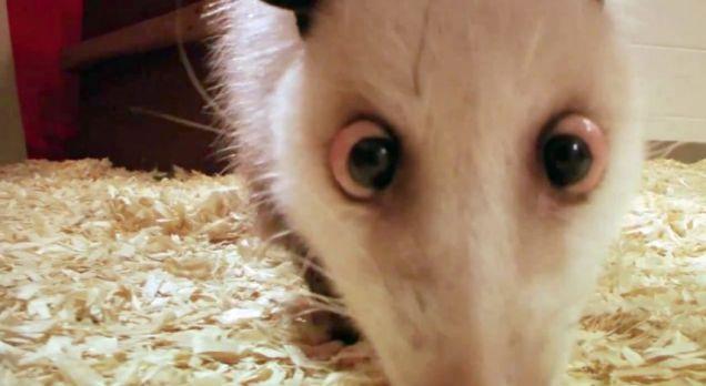 Psychic? Heidi the cross-eyed possum