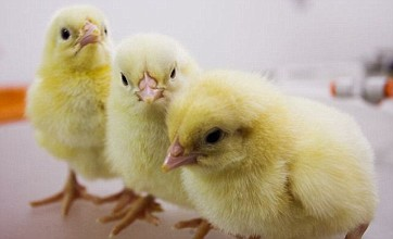 Rent a hen service lets you watch adorable chicks hatch and keep your own chickens