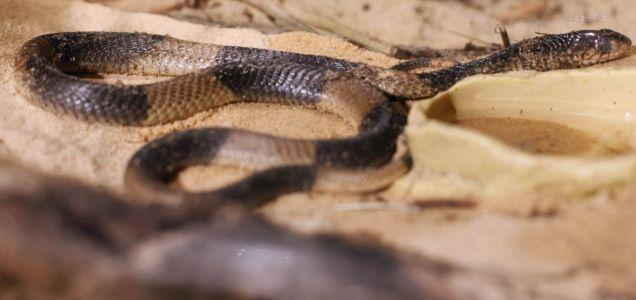 Mia, the Bronx Zoo's famous Egyptian cobra