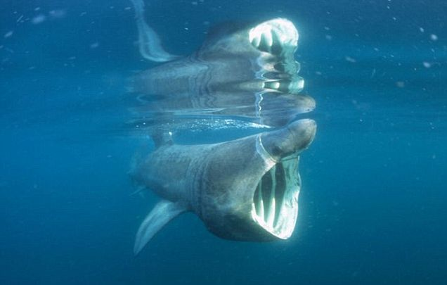 The basking shark: They can grow up to 40ft in length and have been seen off the coast of Ireland this week (Picture: Alamy)