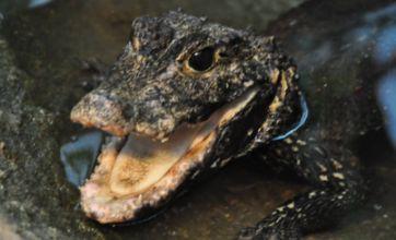 Four crocodiles found in London flat