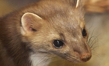 Man carrying weasel carcass 'attacks stranger for offensive species remark'
