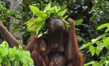 Mummy orangutan makes leaf umbrella to protect baby from rain