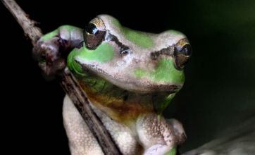 He-Man frog caught flexing its muscles by nature photographer