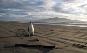 Penguin takes wrong turn and lands on Peka Peka beach in New Zealand