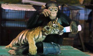 Cute alert: Jean-wearing chimpanzee Do Do plays mum to baby tiger Aorn