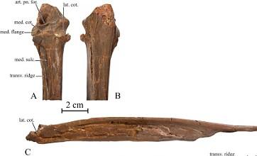 Fossil reveals giant 'phoenix' bird lived among dinosaurs