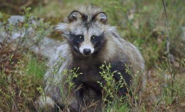 Sweden fears disease as racoons swim over from Denmark