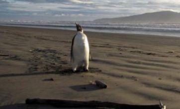 'Happy Feet' the wandering penguin heading home