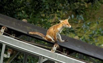 Grinning fox on a slide v pig 'alien' from Guatemala: Freak out