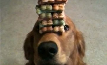 Taking the biscuit: Trainer gets dog to balance stack of treats on his nose