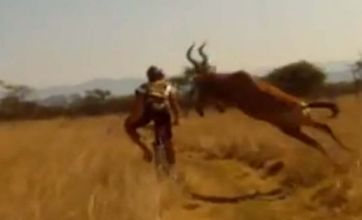 Ouch: Cyclist knocked off bike by antelope