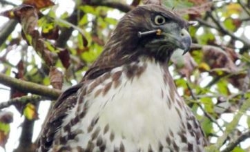 Hawk with nail in head still alive and flying free in San Francisco park