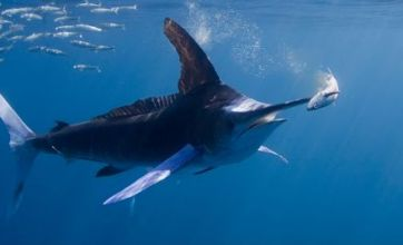 Sardine escapes death by whale and sea lions – before marlin spears him