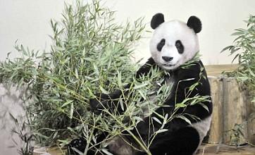 Giant pandas settling in well at Edinburgh Zoo despite jet lag