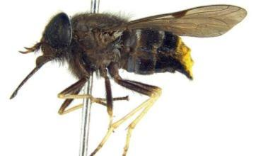 Australian researchers name rare horsefly after Beyonce