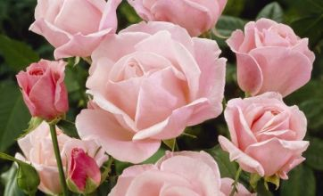 Valentine's Day: Why roses are the symbol of love and romance