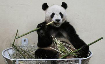 Edinburgh Zoo's giant panda eats, doesn't shoot and leaves