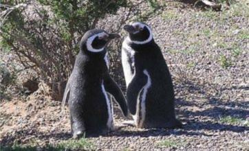 'Gay' penguins Inca and Rayas get their own egg to look after