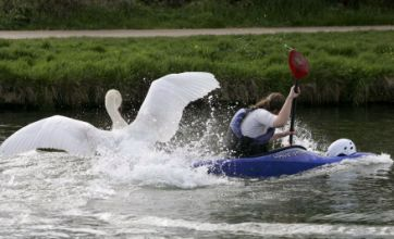 Britain's most vicious swan Mr Asbo is removed from the River Cam
