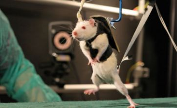 Paralysed rats taught to walk again give hope to spine injury patients