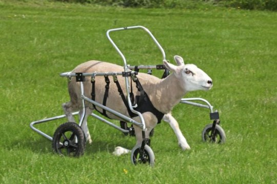 Disabled sheep Buster