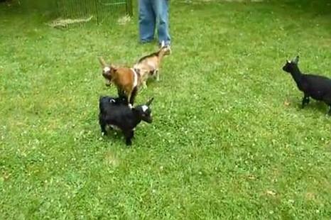Buttermilk Sky, goat, Took a Leap Farm, YouTube