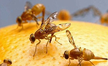 Secret to a longer life discovered in fruit fly study