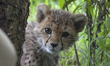 Rescued Somalian cheetah named after Mo Farah winning its race for life