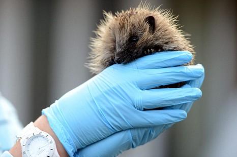 Hedgehog, Crispian