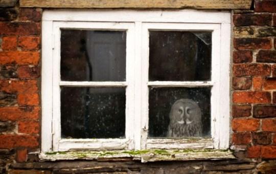 Gandalf the owl